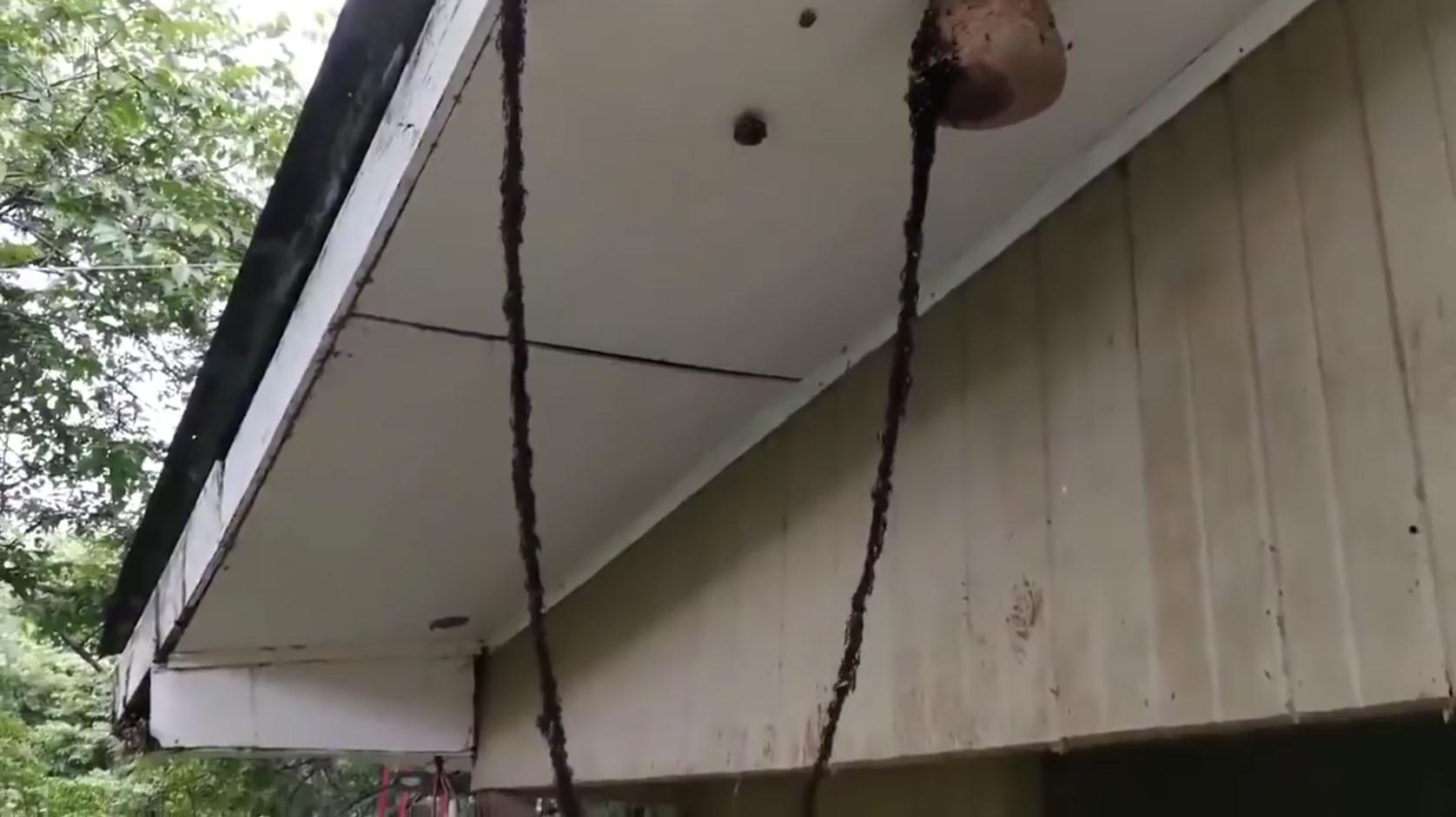 Un million de fourmis attaquent un nid de guêpes