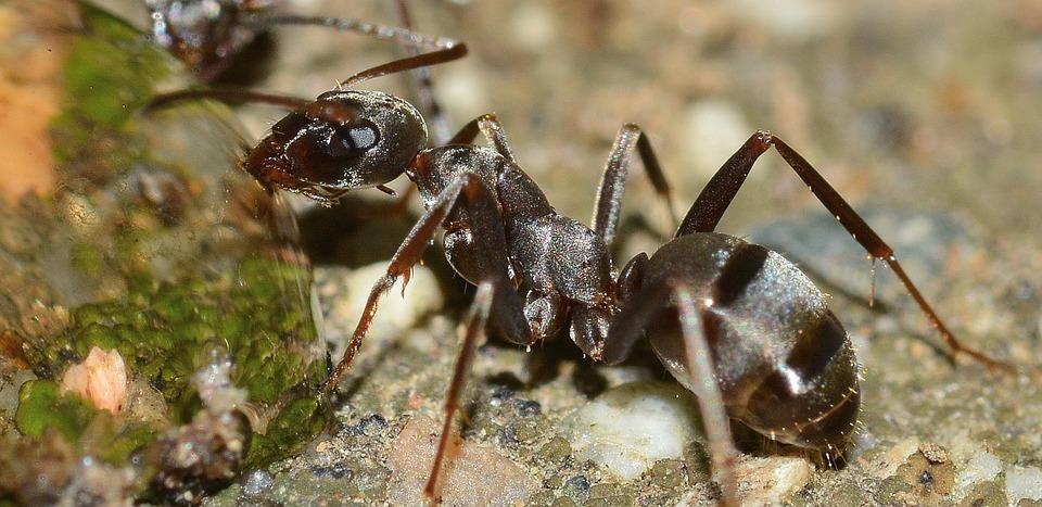 """Les fourmis malades prennent des """"congés maladie"""" pour protéger la colonie"""